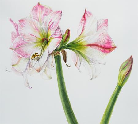 Amaryllis hippeastrum, aquarel