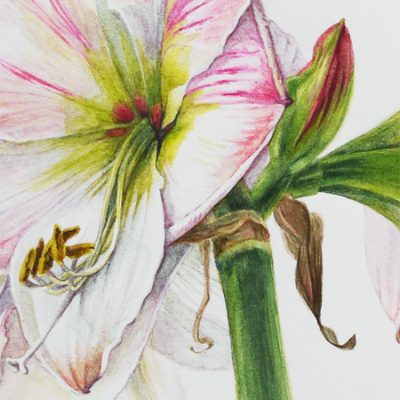 Amaryllis hippeastrum (detail), aquarel