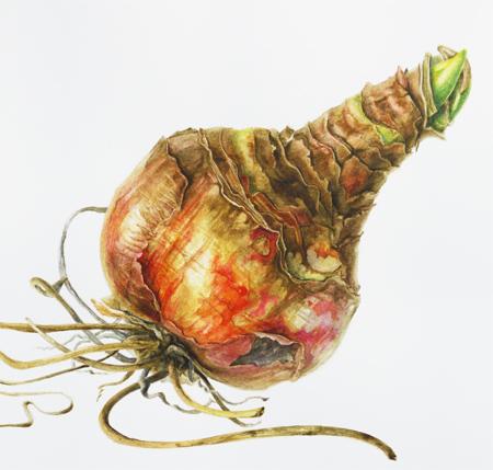 Amaryllis hippeastrum bol, aquarel