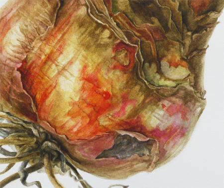 Amaryllis hippeastrum bol (detail), aquarel