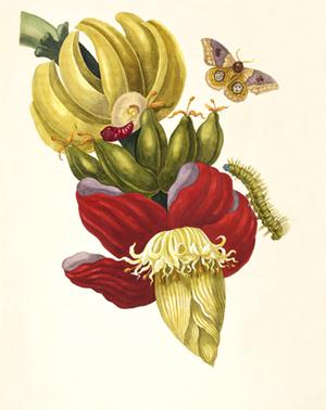 Banana_Maria_Sibylla_Merian_1705_plate_XII