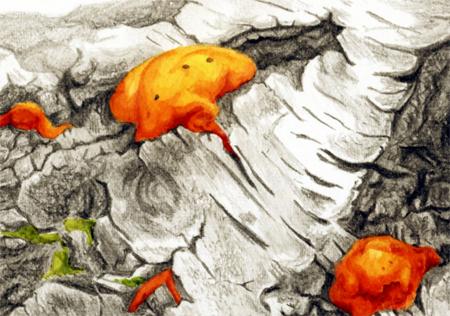 Vermiljoenzwam op berkenstam (detail), potlood en aquarel