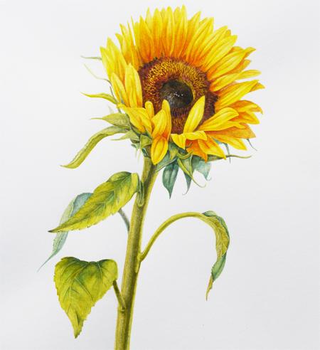 Helianthus, zonnebloem, aquarel