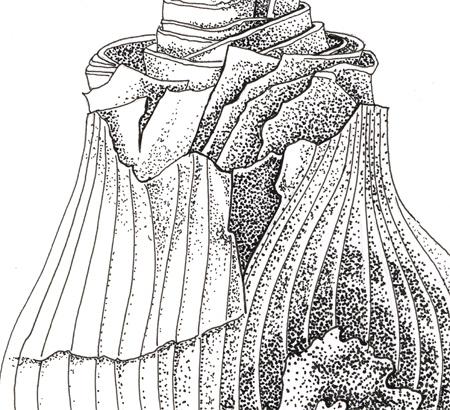 Amaryllis bol (detail), pen