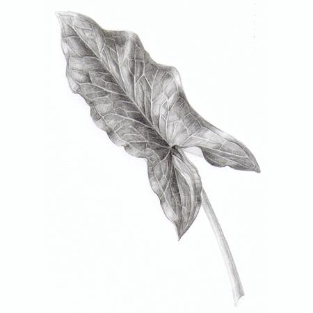 Arum italicum blad, potlood