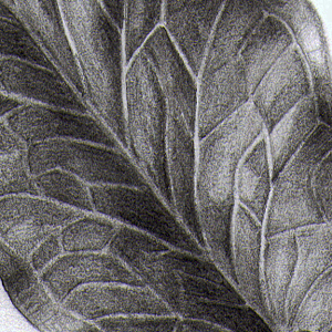 Arum italicum blad (detail), potlood