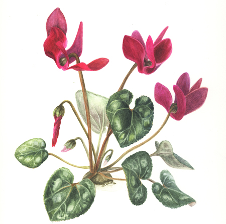 Cyclamen, aquarel