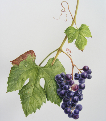 Vitis, druif, aquarel