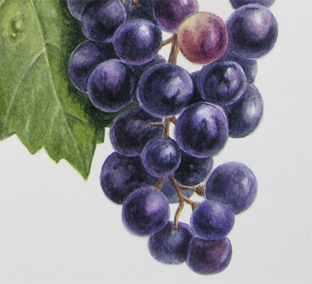 Vitis, druif (detail), aquarel