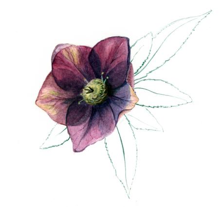 Helleborus orientalis, aquarel en potlood