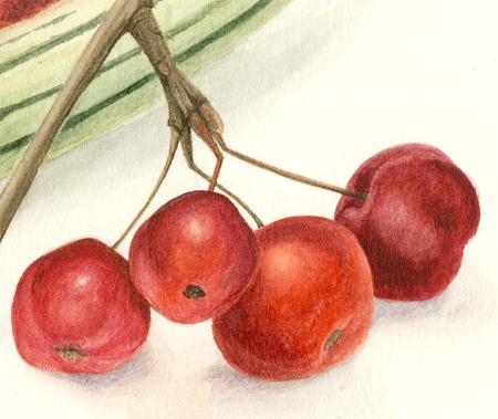 Kalebas en malus (detail), aquarel
