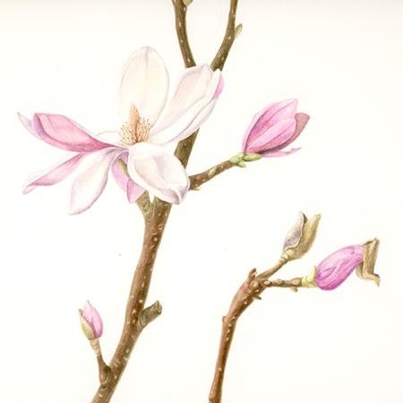 Magnolia, aquarel
