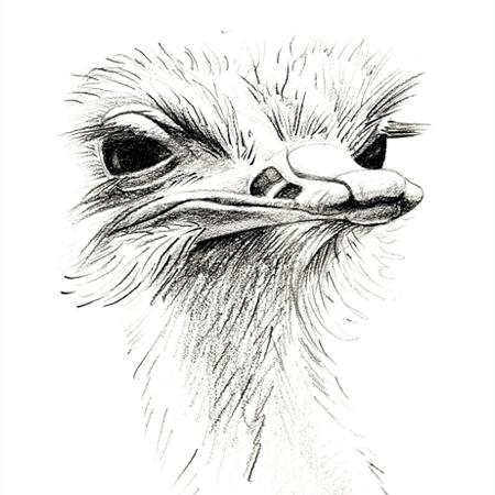 Struisvogel, potlood
