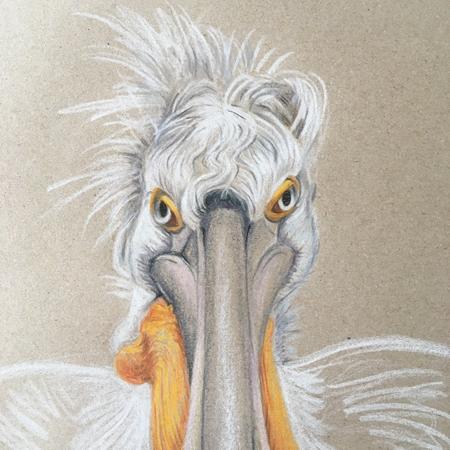 kroeskop pelikaan diergaarde Blijdorp, kleurpotlood