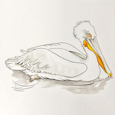 Kroeskop pelikaan, Blijdorp, pen en gouache