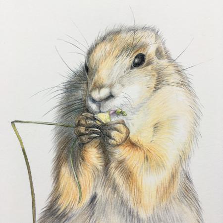 Prairiehondje Blijdorp, detail, kleurpotloden