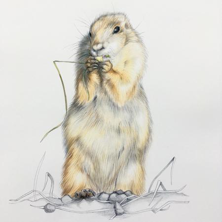 Prairiehondje Blijdorp, kleurpotloden