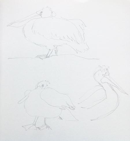 schetsboek-pelikaan-pix450