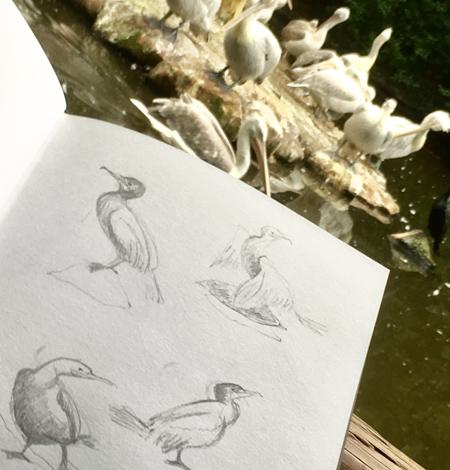 Schetsen bij de pelikanen in Blijdorp