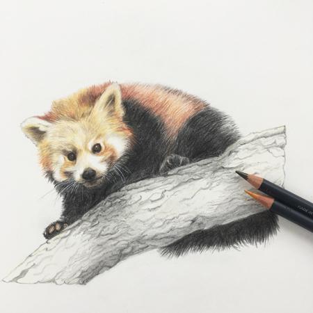 kleine panda diergaarde Blidorp, kleurpotlood