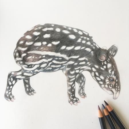 tapir jong diergaarde Blijdorp, kleurpotlood