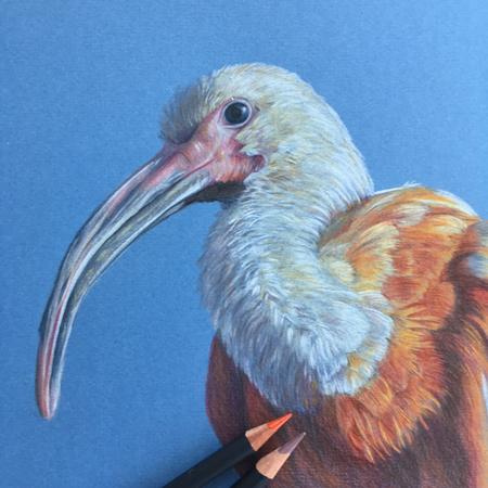 Rode ibis, diergaarde Blijdorp,  kleurpotlood op gekleurd papier