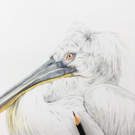Kroeskop pelikaan diergaarde Blijdorp, potlood