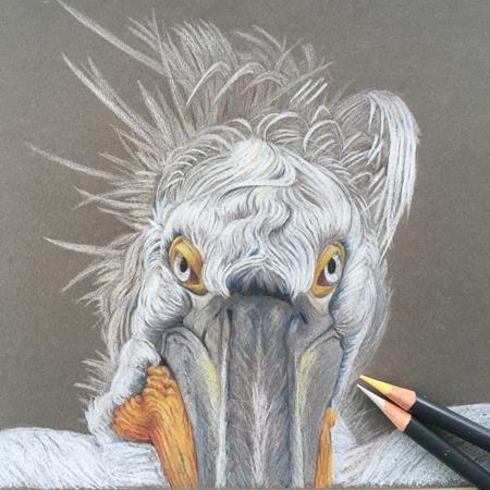 Kroeskop pelikaan, diergaarde Blijdorp, kleurpotlood op gekleurd papier